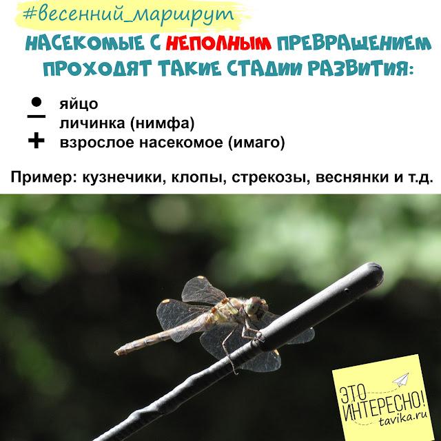 фенофазы насекомых с неполным превращением