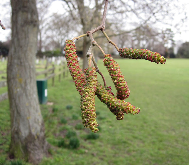 Alder catkins, Alnus glutinosa. Cudham recreation ground, 25 February 2012.