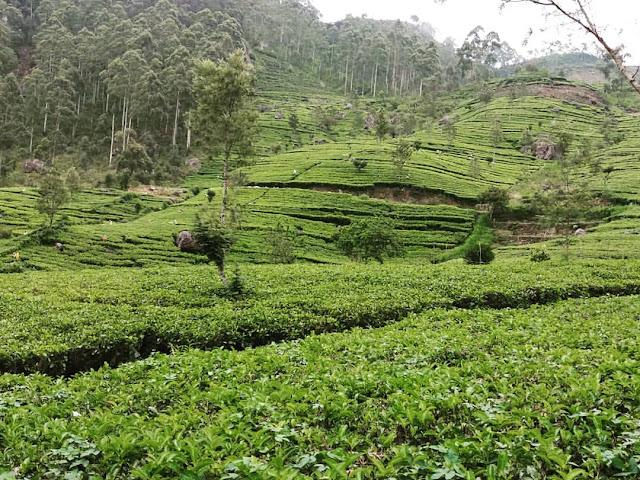 campos té tierras altas