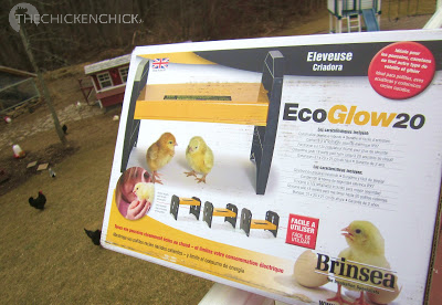 The Chicken Chick®: The Dangers of Brooder Heat Lamps & a Safe ...