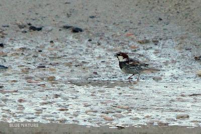 Macho de gorrión moruno (Passer hispaniolensis). Se aprecia en la imagen el barreado oscuro y la falta de píleo gris.