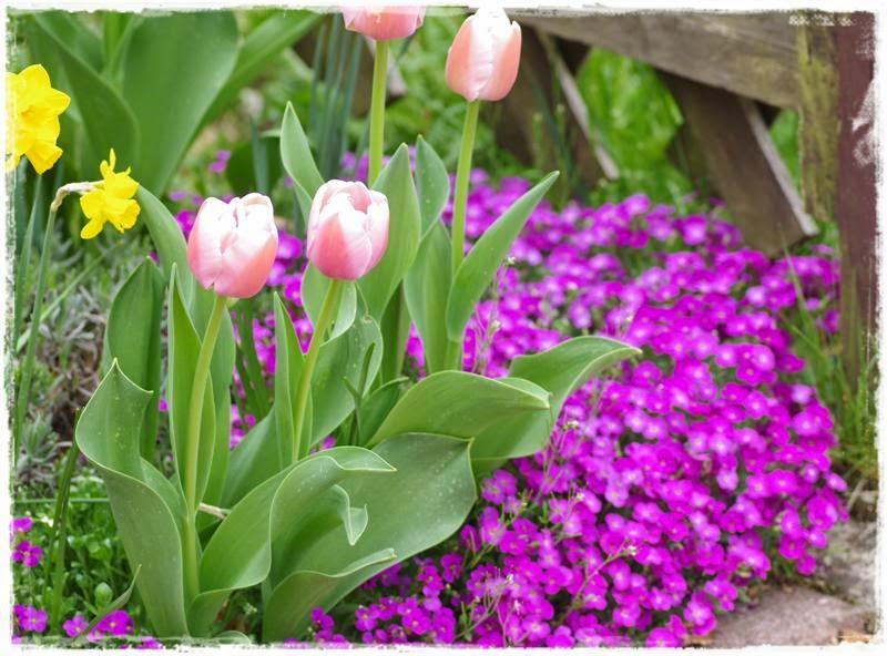 Tulpen kombiniert mit Blaukissen
