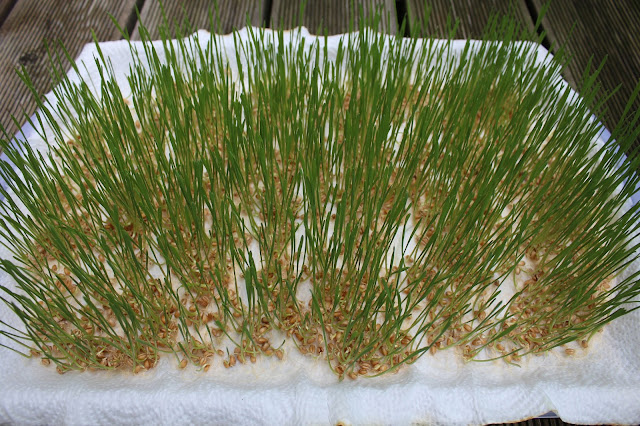Weizengras anbauen
