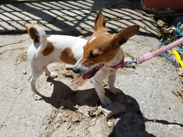 cachorra cruce jack russell