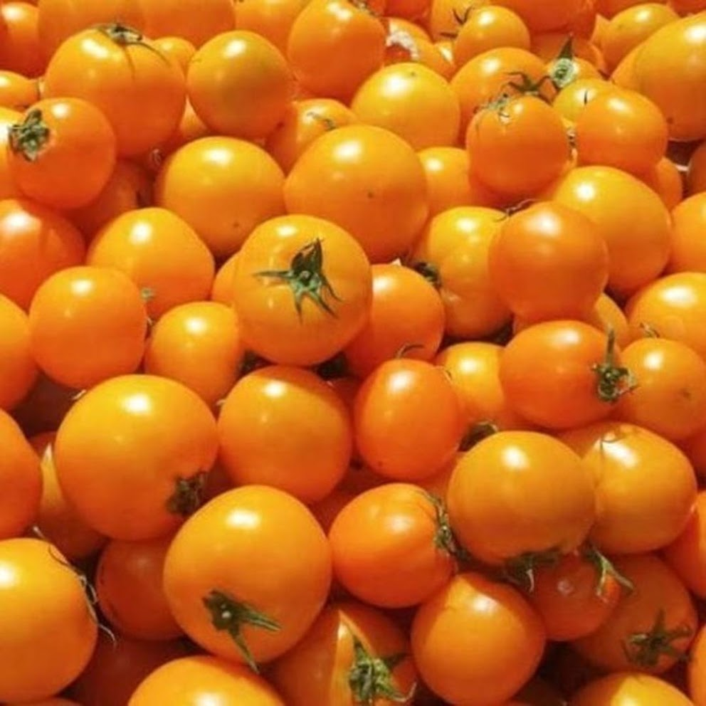 Benih Bibit Biji Tomat Golden Jubilee Tomato Bibit Unggul Palangkaraya