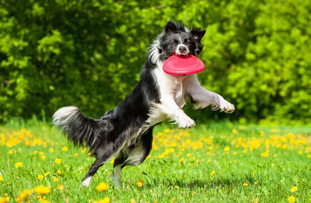 The Collie dog an excellent sporting dog