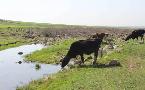 مربي الأبقار بالسويداء يشتكون من إجهاض ونفوق الأبقار المستوردة,وضعف إنتاجيتها