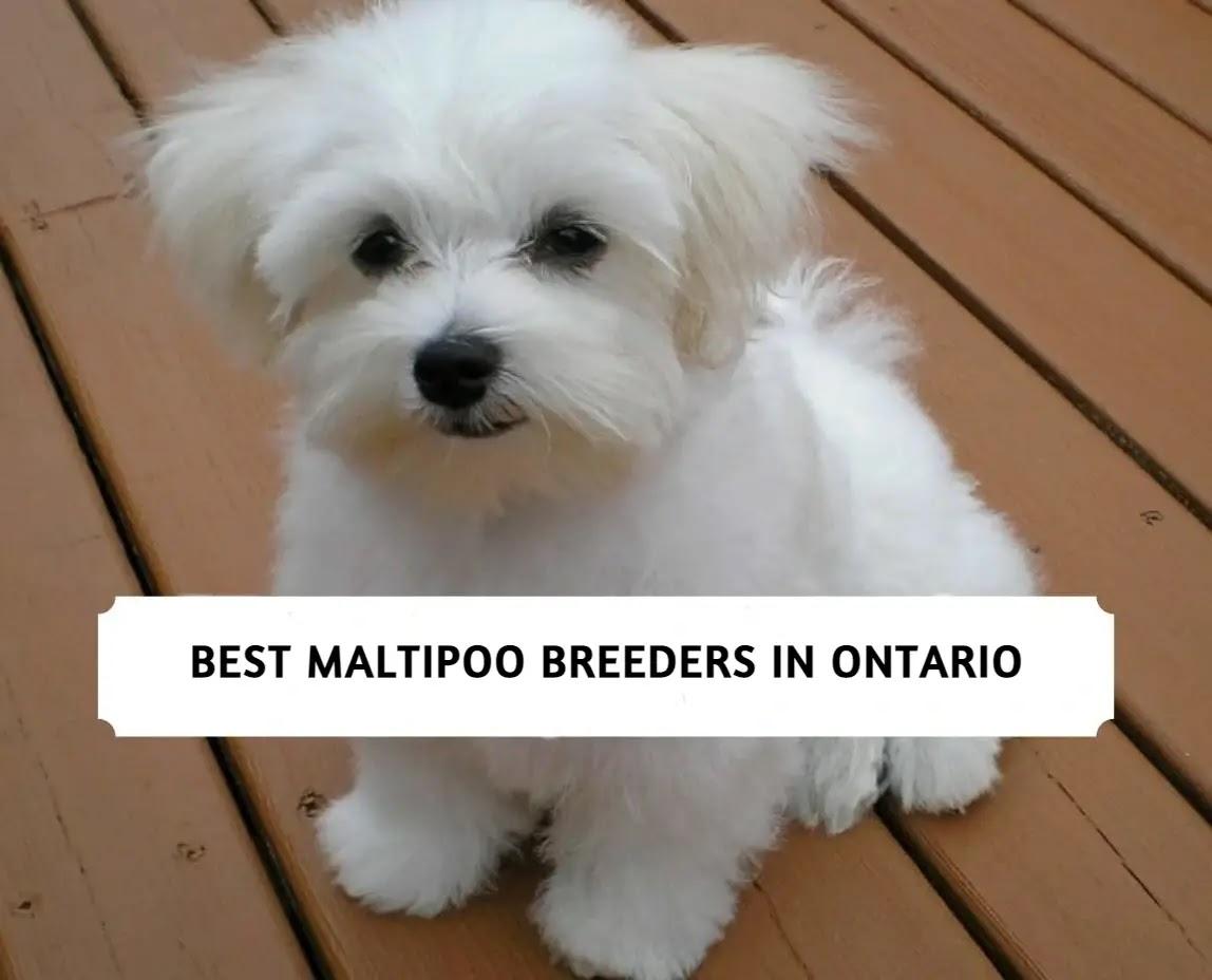 Best Maltipoo Breeders in Ontario