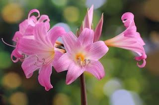 bunga amarilis pink