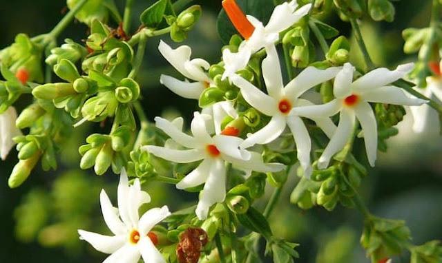 සවසට පිපී,උදයට වැටී පරවී යන සේපාලිකා මලේ ගුණ වරුණ 😮 (Sepalika - Nyctanthes Arbortristi) - Your Choice Way