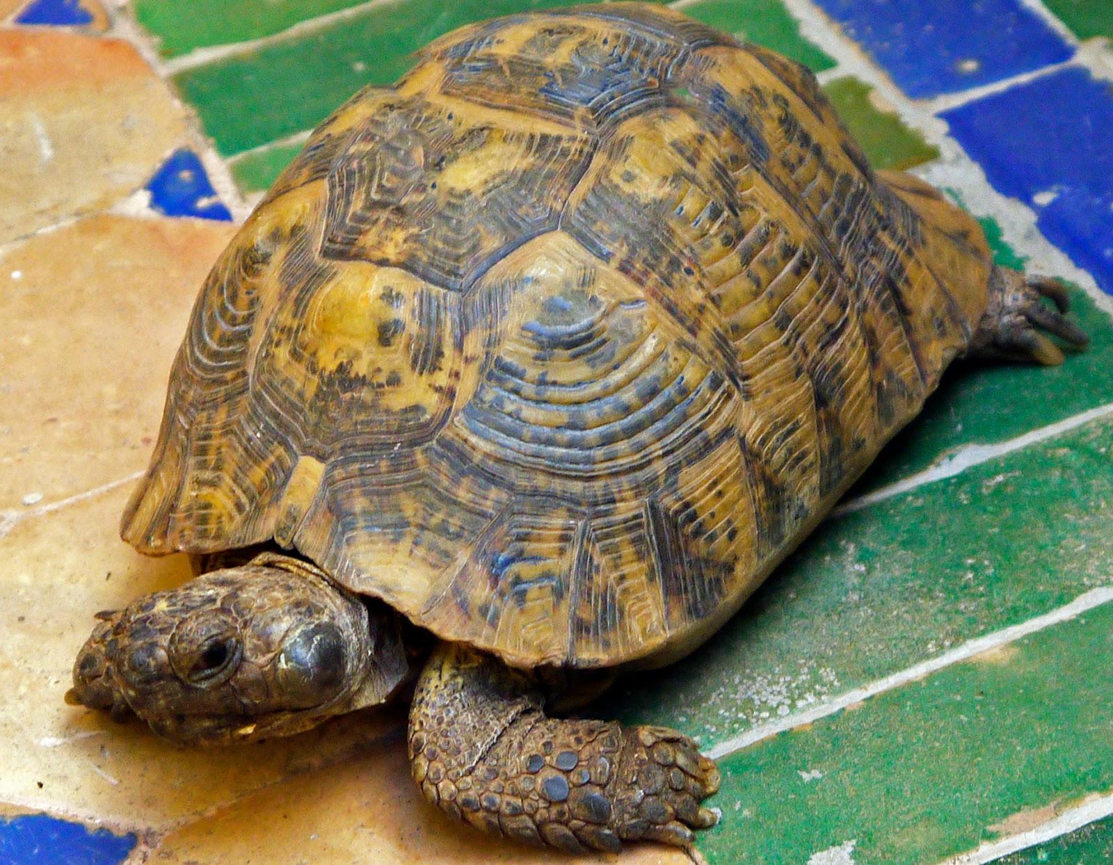 Friendly turtle Riad Noga Marrakesh