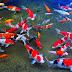 5 Cara Budidaya Ikan Hias Sebagai Penghasilan Utama Anda