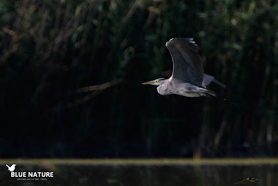 Garza real (Ardea cinerea) en pleno vuelo. Blue Nature