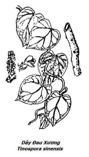 Hình vẽ Dây Đau Xương - Tinospora sinensis - Nguyên liệu làm thuốc Chữa Tê Thấp và Đau Nhức