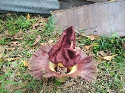 Teks observasi bunga bangkai - pustakapengetahuan.com