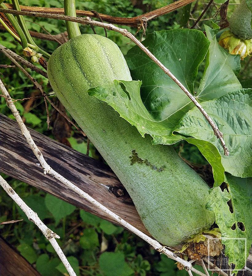Gąbczak walcowaty, trukwa egipska, walcowata, Luffa aegyptica, Luffa cylindrica, chińskie warzywa, naturalna gąbka z ogródka, siew, uprawa, kwiaty