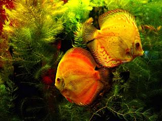 Pasangan Ikan