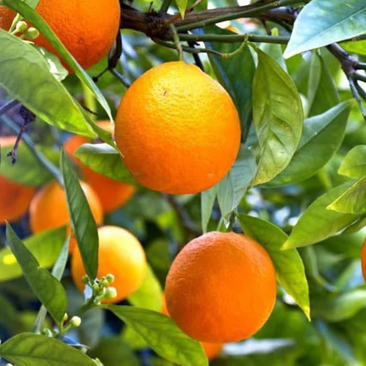 Bibit jeruk sunkis berbuah lebat tanpa mengenal musim Malang