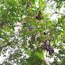 Pohon Jengkol yang Berujung Kematian Seorang Siswa SD