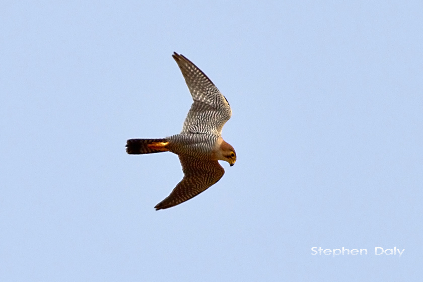 Red necked Falcon 0140