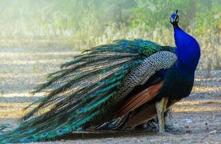 ময়ূর পাখি সম্পর্কে 9 টি আকর্ষণীয় তথ্য | Amazing facts about Peacock