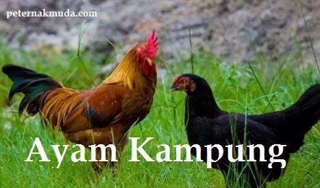 Gambar Ayam Kampung Sepasang