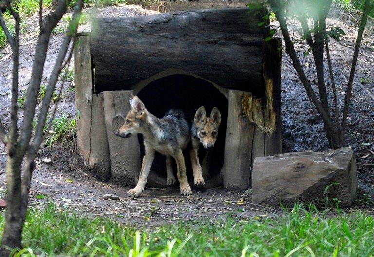 Duas das sete crias de uma ninhada de lobo-mexicano nascida no México