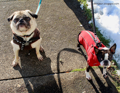 Pug and Boston terrier out on a walk