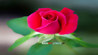 Pink Rose for rose day