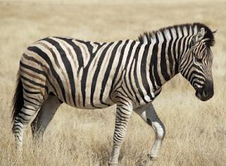 10 Lines on Zebra in Hindi