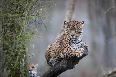 Ягуар - третья по величине кошка в мире