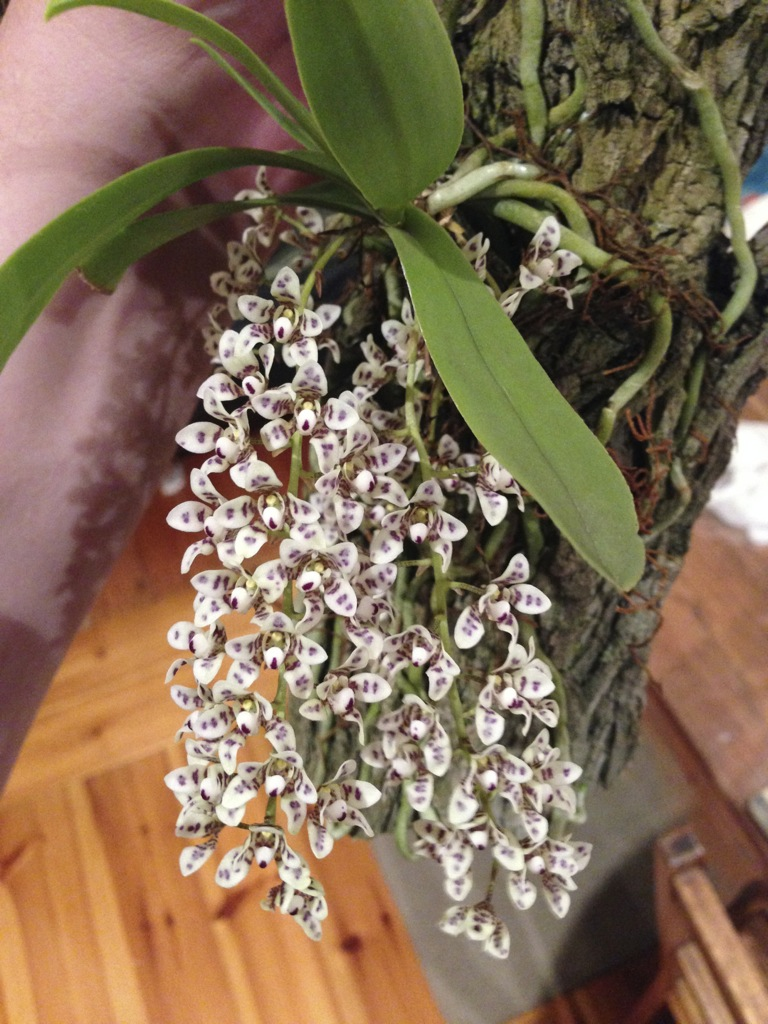 Sarcochilus Cherie AliceEasy cool growing orchidEZorchids