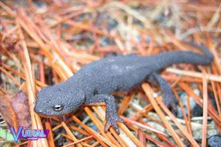 Contoh Hewan Amfibi Salamander