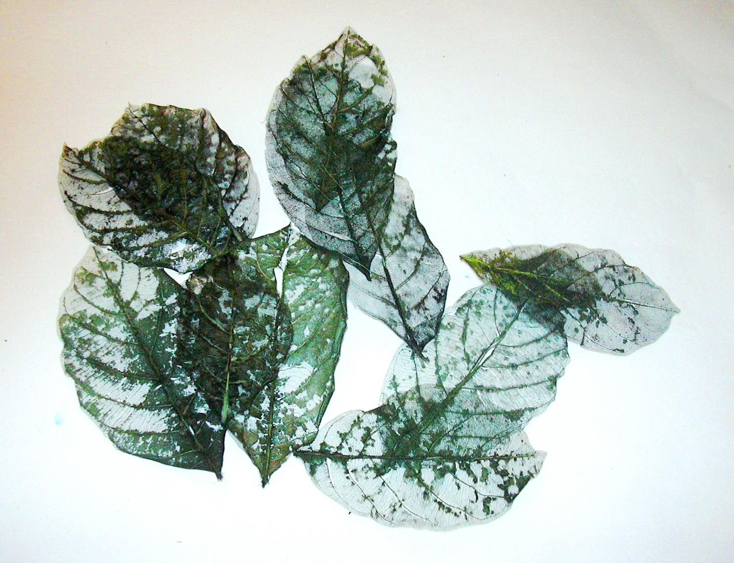 Akhirnya saya mendapat banyak lembaran rangka   tulang daun nangka. Untuk  kali ini saya warnai dengan pewarna wantex hijau lumut  758e357da8