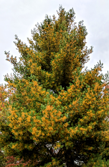 image of a coninfer tree, whose needles are changing color from green to amber
