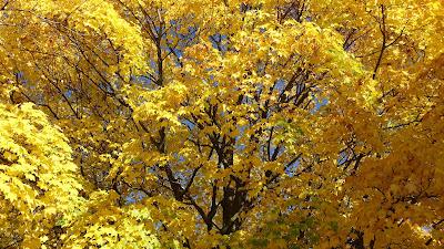 Ahornbaum mit gelben Blättern