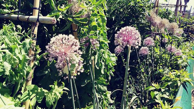 Floración Allium spp