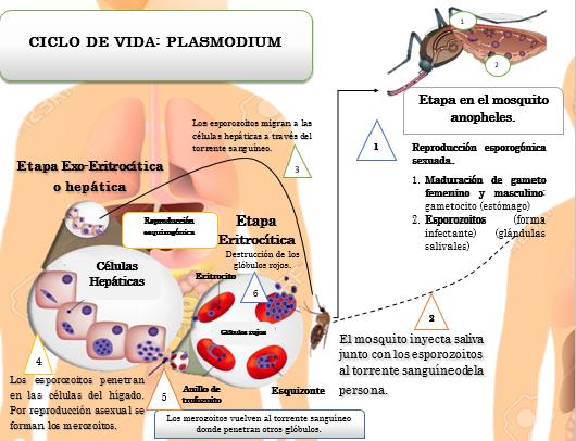 Resultado de imagen de ciclo de vida del plasmodium