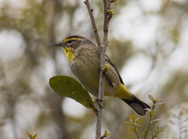 Palm Warbler - Orlando, Florida