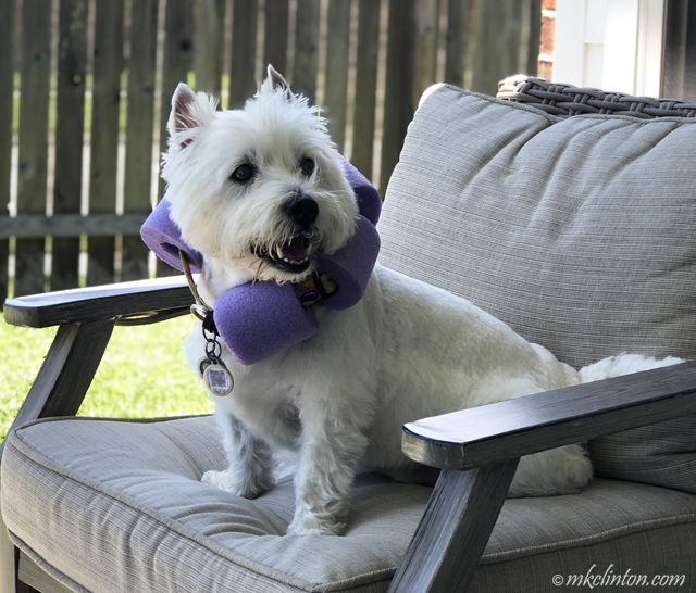 Westie wearing noodle collar
