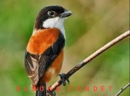 Suara Kicauan Burung Cendet Masteran mp3