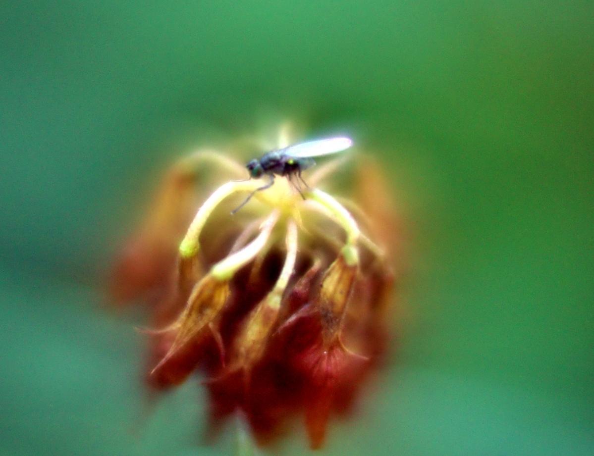 Was habe ich da für eine Mücke abgebildet?