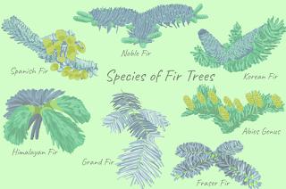 types of fir tree