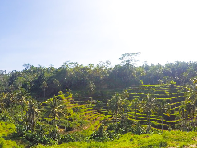 Rice field in Ubud in Bali