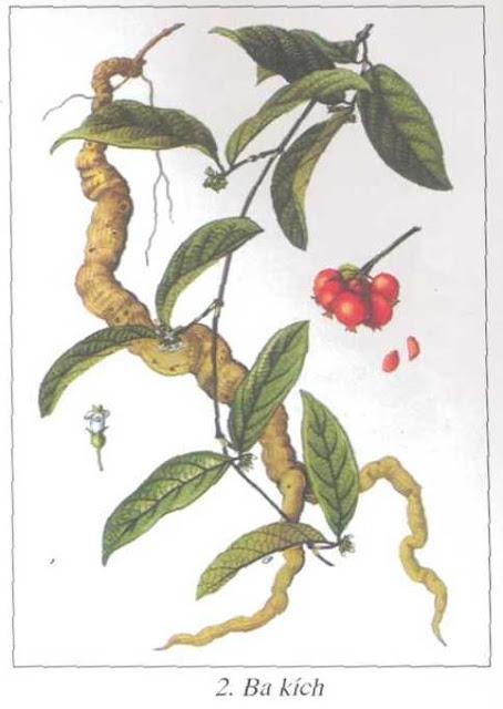 Ba Kích-Morinda offcinalis-Nguyên liệu làm thuốc Hạ Huyết Áp