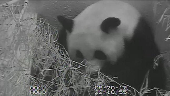 Washington Dc Zoo Panda Cam