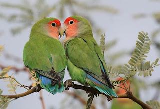 Lovebird Muka Salem (Agapornis roseicollis)
