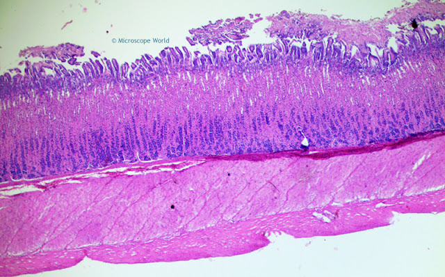 Microscopy image of fundic stomach region.