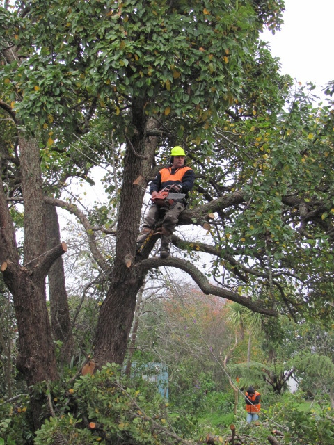 Quaker Settlement Whanganui Removal Of Papple Trees