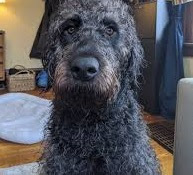 Rottweiler Poodle mix (Rottle) Temperament, Size, Adoption, Lifespan